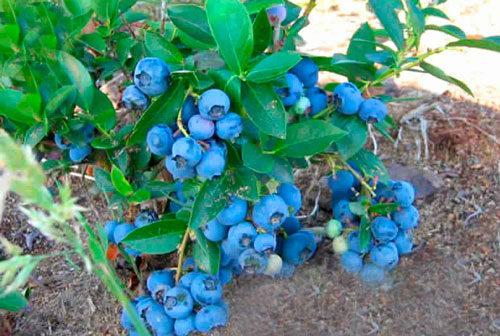 ягоды садовой голубики