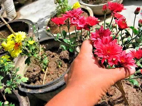 хризантемы зимой