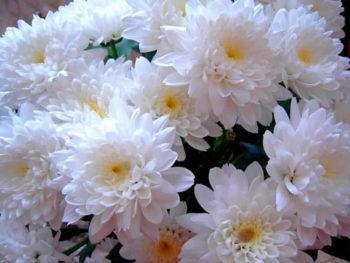 история хризантемы