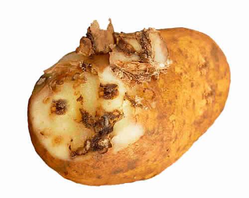 поврежденная картошка