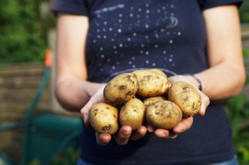 картофельная моль и как с ней бороться
