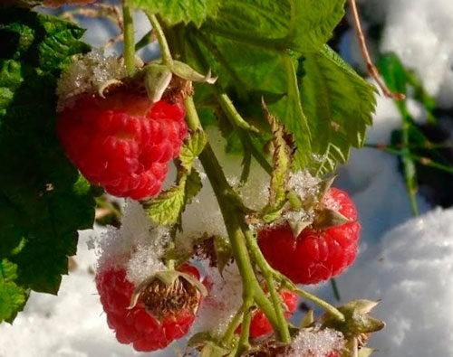 ягоды малины до зимы