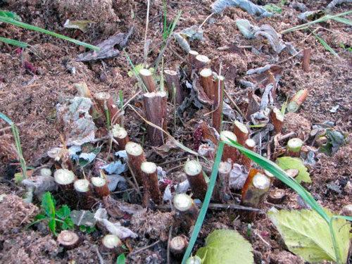 обрезка малины под корень
