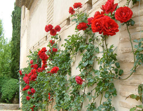 плетистые розы укрытите на зиму