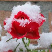 как уркыть плетистую розу на зиму
