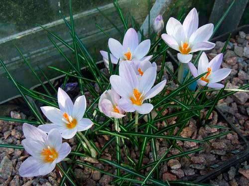 крокусы, цветение весной
