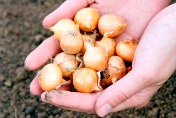 как сажать лук севок под зиму