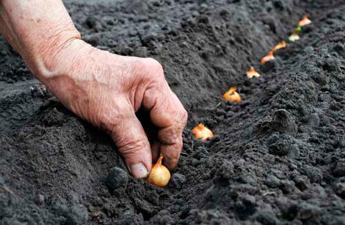 как сажать лук севок осенью