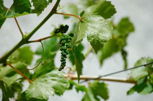чем обрабатывать виноград