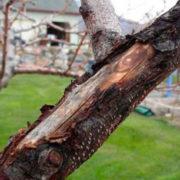 почему трескается кора на плодовых деревьях