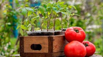 посев томатов в марте на рассаду
