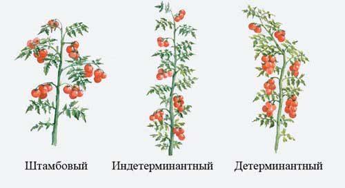 три вида томатов