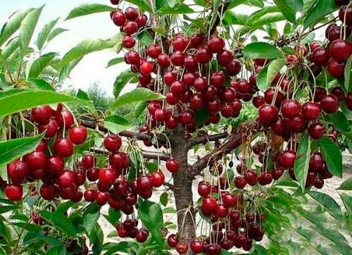сорта вишни устойчивые к монилиозу