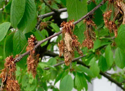 монилиоз вишни, как лечить
