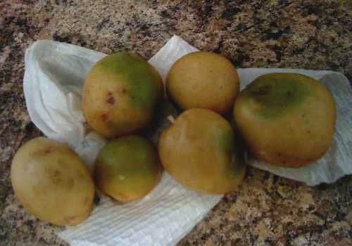 можно ли сажать зеленый картофель