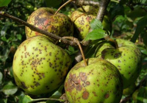 чем обработать яблоню от парши