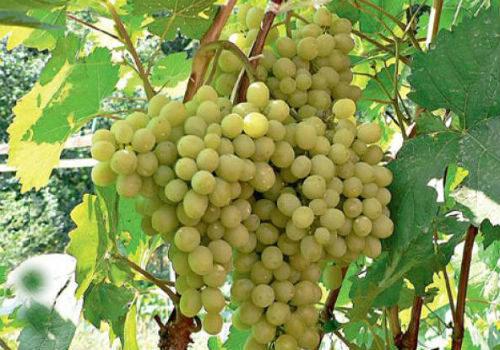 гроздья винограда Алешенькин