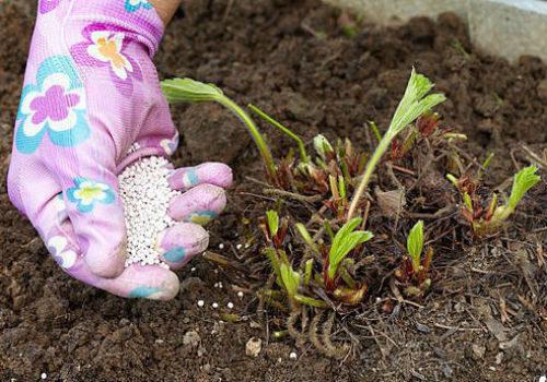 чем удобрять клубнику весной