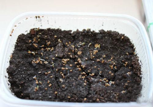 посев семян корневого сельдерея на рассаду