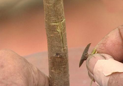 сроки окулировки плодовых деревьев