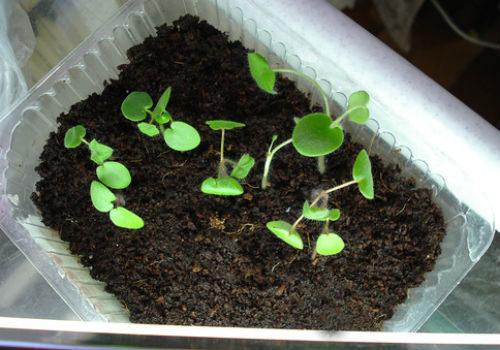 выбираем тару для выращивания пеларгонии