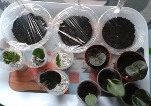 выращивание пеларгонии семенами