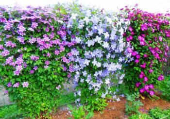 посадка клематисов весной
