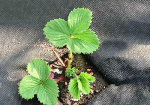 выращивание клубники под пленкой