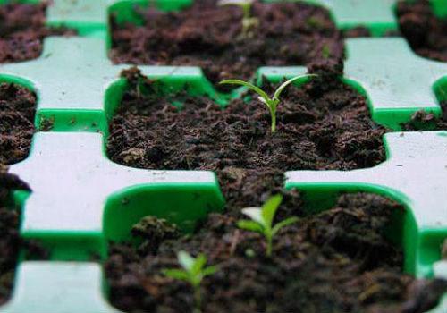 эустома. выращивание в домашних условиях