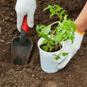 когда высаживать рассаду помидор в открытый грунт