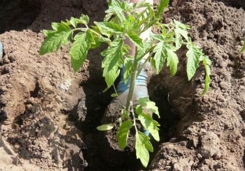как посадить рассаду помидоров