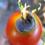 почему чернеют помидоры