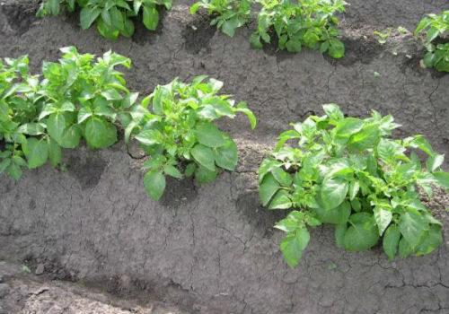кусты картошки