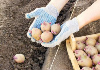 дни посадки картофеля в апреле
