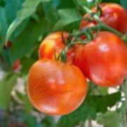 сорта томатов устойчивые к фитофторе для подмосковья