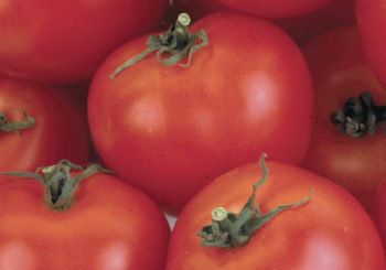 томат никола характеристика и описание сорта