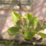 яблоневый цветоед, борьба