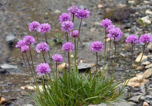 цветы армерии