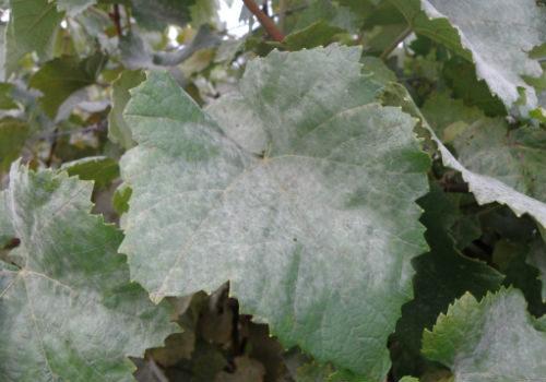чем обработать виноград от белого налета