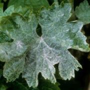 белый налет на листьях винограда