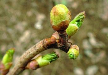 Борьба с почковым клещом на смородине весной