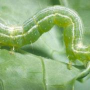 как бороться с гусеницами на капусте