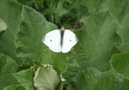 бабочки-вредители