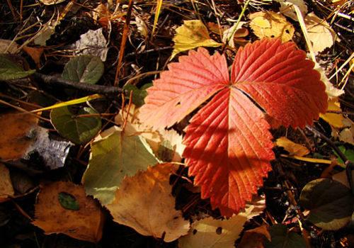 листья у клубники краснеют осенью