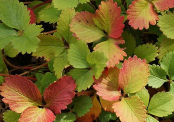 почему у клубники краснеют листья