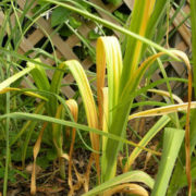 почему желтеет чеснок весной