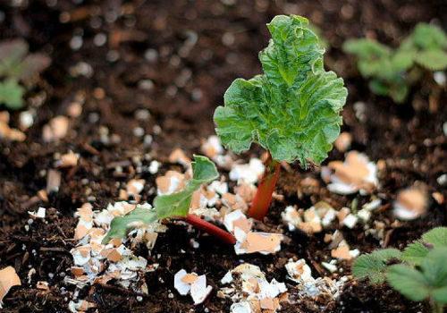 яичная скорлупа для комнатных растений