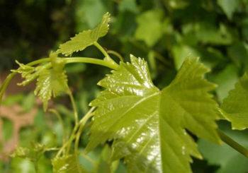 заготовка виноградных листьев на зиму для долмы
