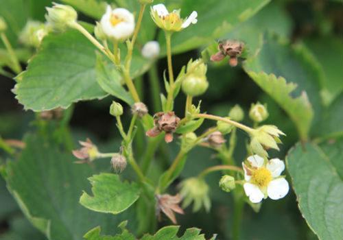 цветы поврежденные долгоносиком