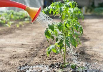 как поливать помидоры в открытом грунте